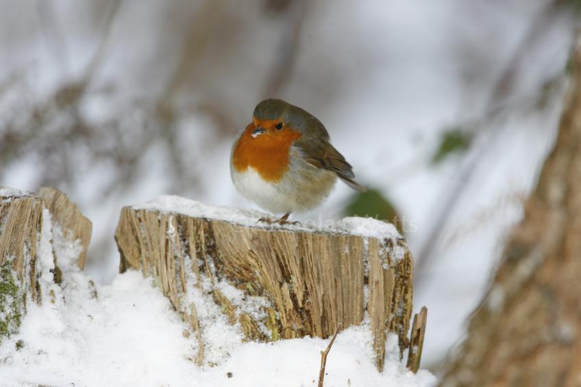 Robin Bird Information Photos Amp Videos Vine House Farm