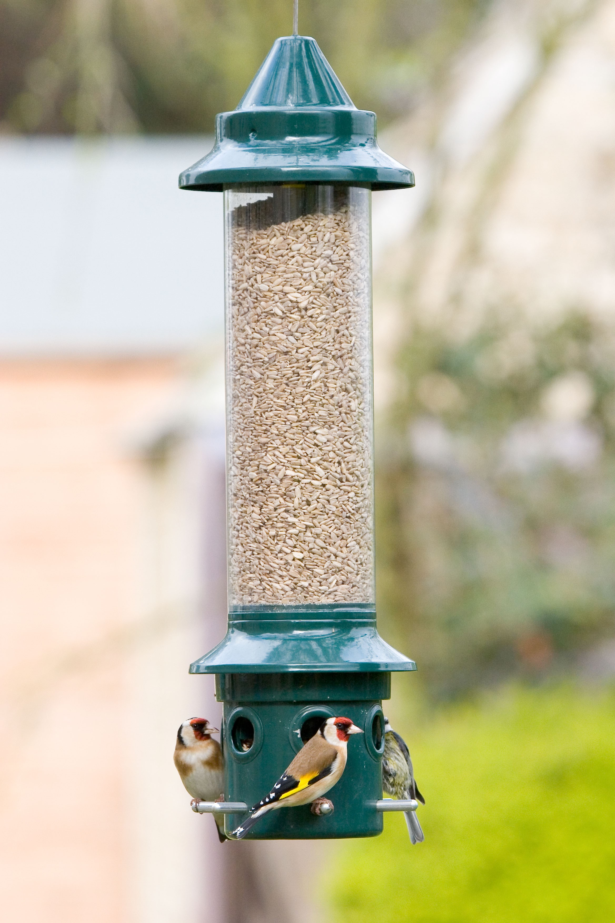 on feeder anti wiki blue cristata wikipedia feeders jay squirrel bird
