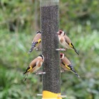 Droll Yankee Goldfinch Flocker