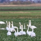 1. January Whooper Berwicks & Mute Swans