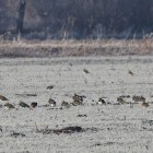 12. Lapwings and Golden Plovers