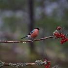 2. February - Bullfinch