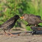 5. May - Starling (Tim)