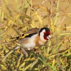 7. Goldfinches eat the rape seeds
