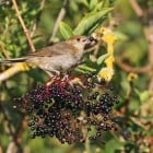 8. Blackcaps are able to find plenty of food on uncut hedges