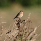 9. Look out for wheatears on migration this month