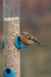 Chaffinch eating sunflower hearts