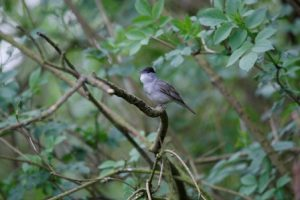 Climate change and food availability improves Blackcap population