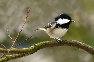 The Caching Coal Tit