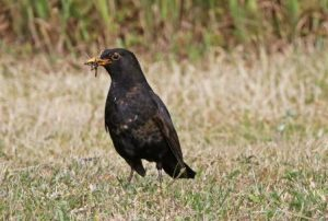 All about the Blackbird