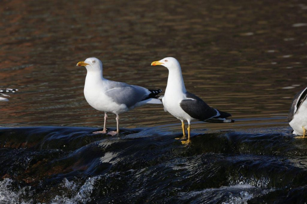 The Herring & Lesser Black Backed Gull