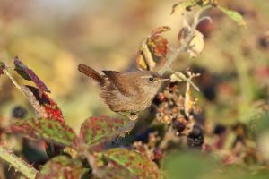 The bold and highly vocal Wren