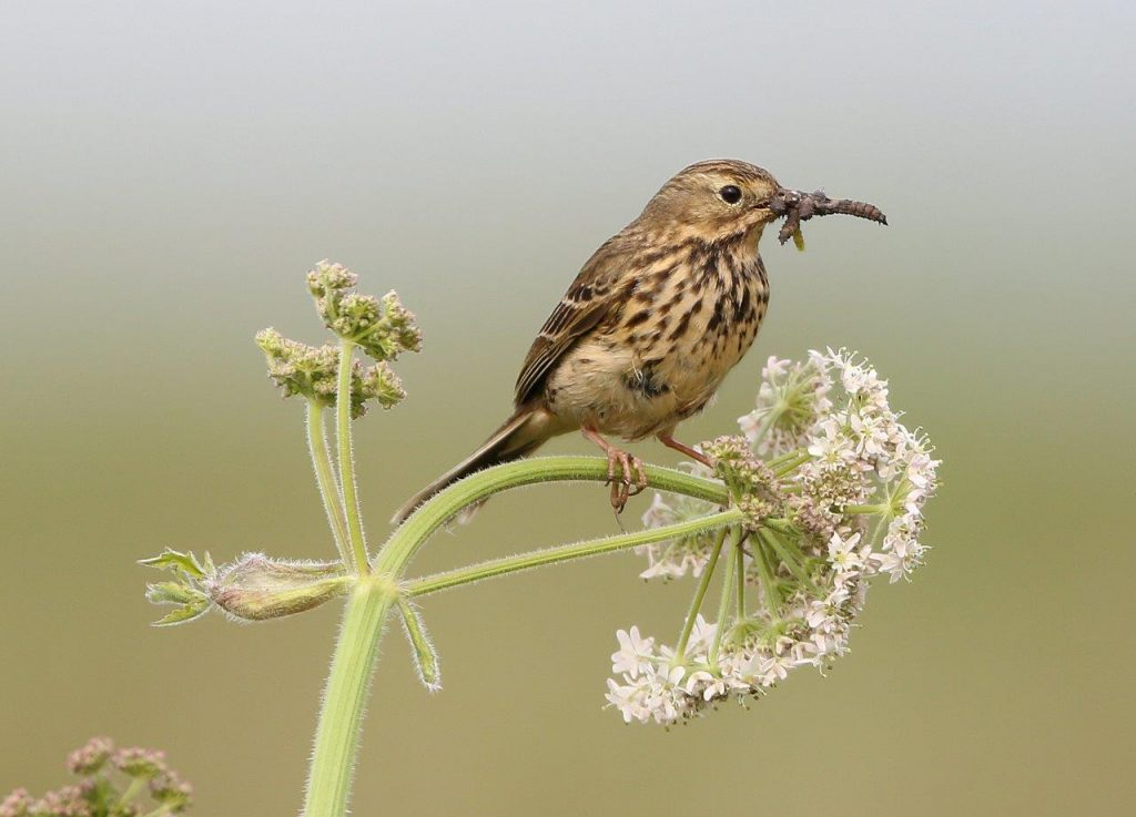 Meadow Pipits are feeding their young