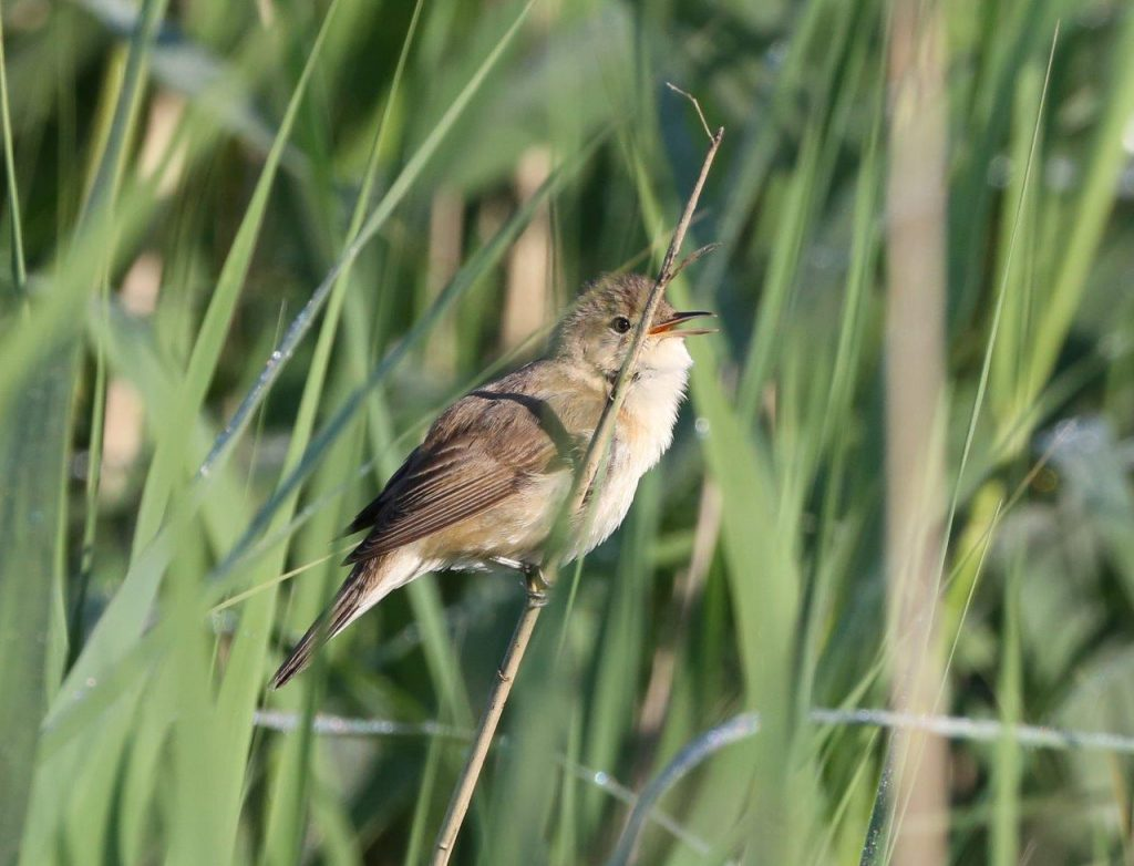 Reed Warblers continue to sing