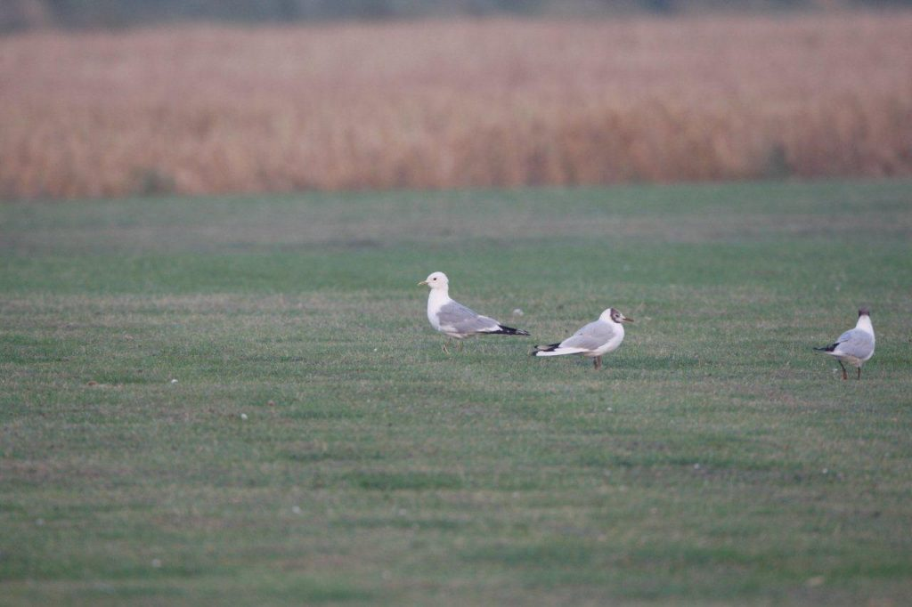 A Common Gull visits