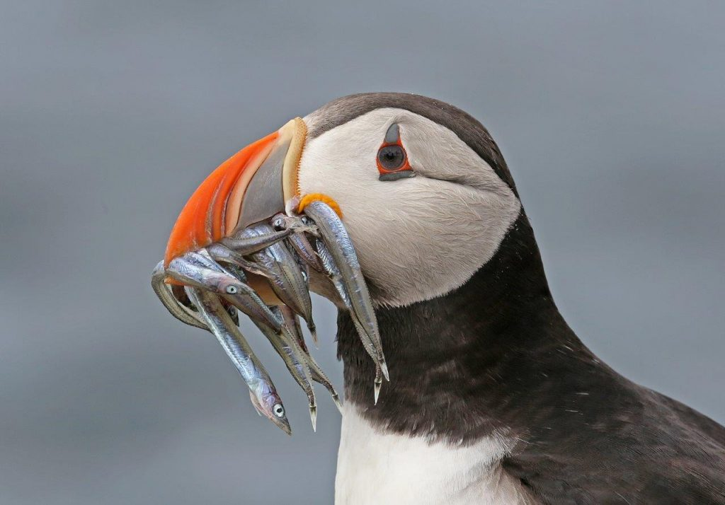 Puffin from the Farne Islands