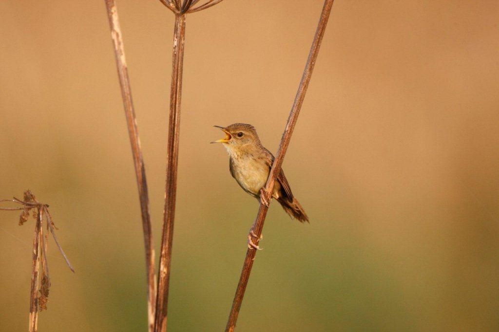 A singing Grasshopper Warbler