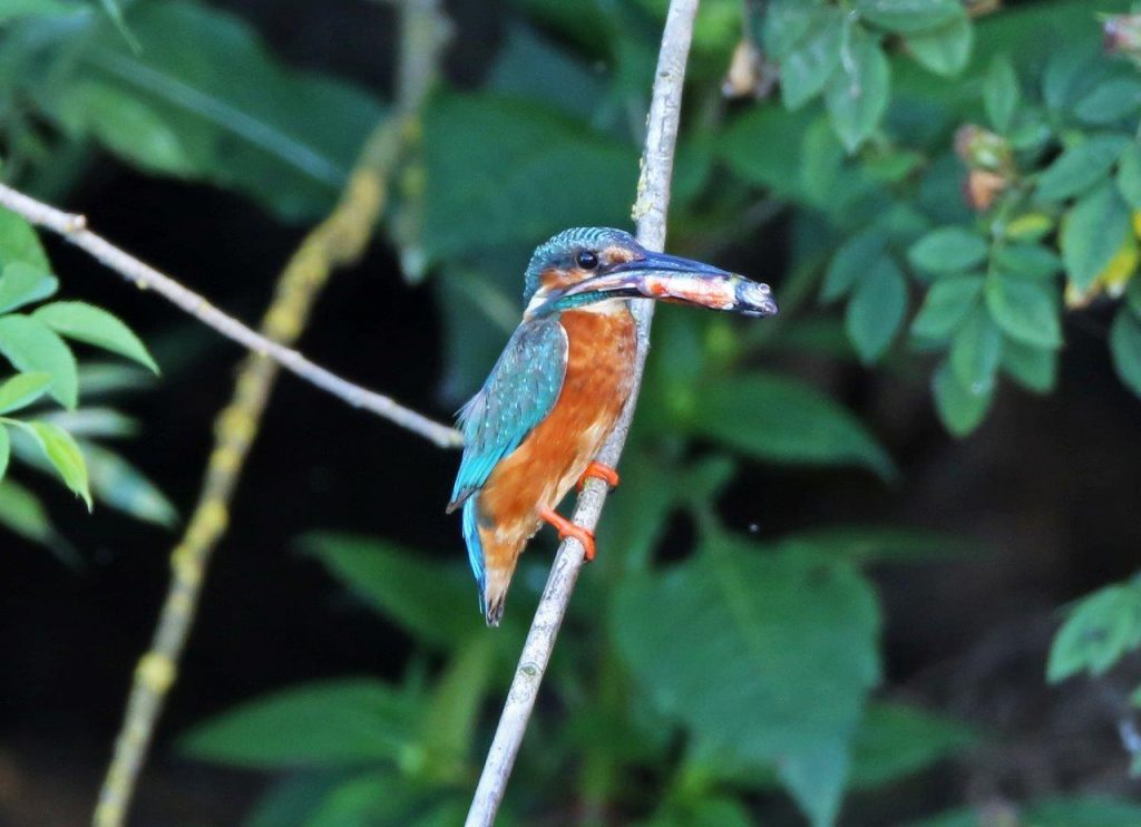Kingfisher with Food
