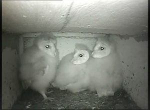 Our Barn Owls are growing fast