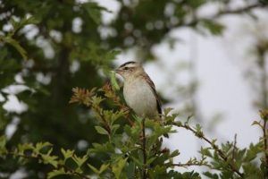 Sedge Warbler with insects