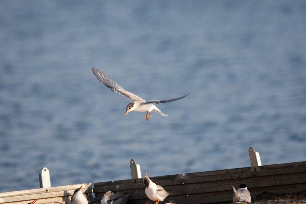 Our Terns have flying young