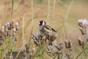 Goldfinches & thistles