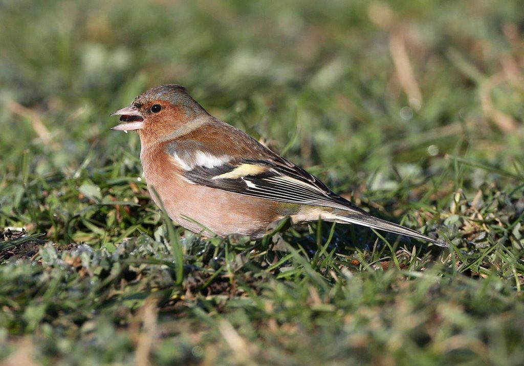 All About the Chaffinch