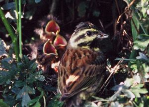 Bringing the Cirl Bunting back from the brink of oblivion by Andrew Cooper