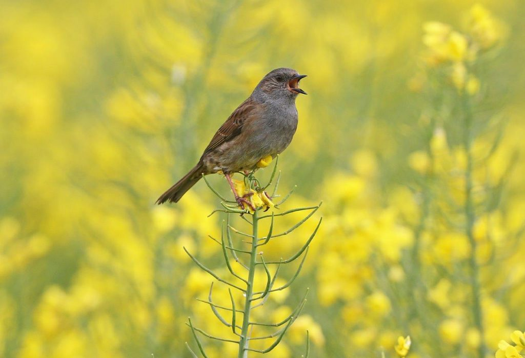 The Inconspicuous Dunnock