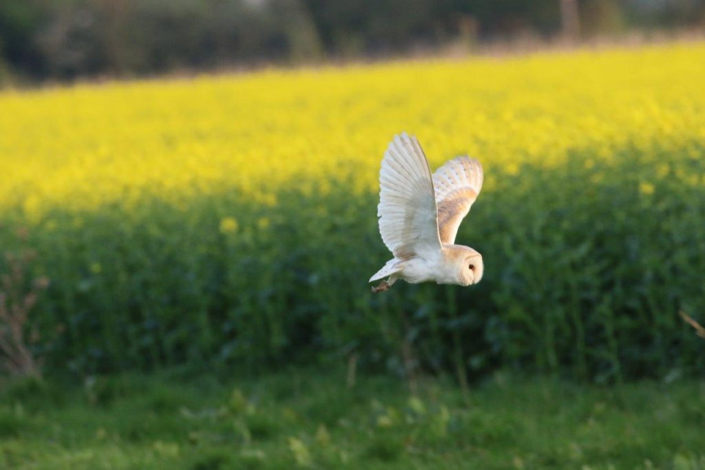 Good weather for Barn Owls