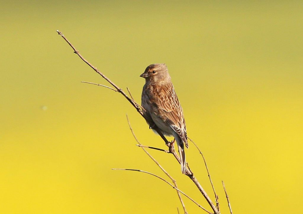 Linnets on the move
