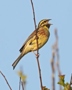 Cirl Bunting - male