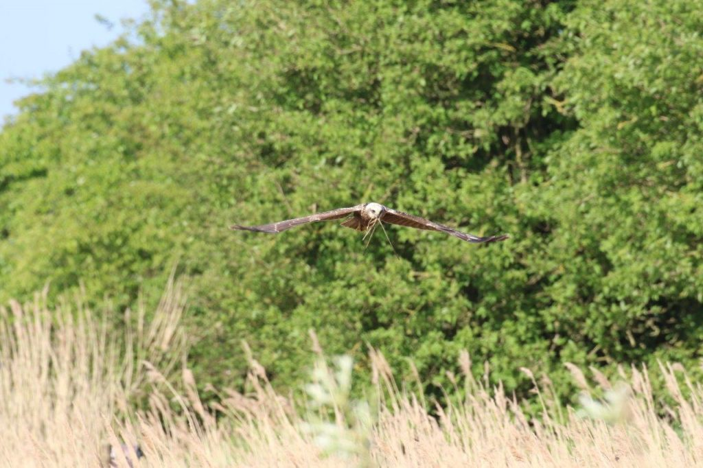 Reed bed nesting