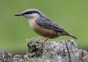The Special Nuthatch