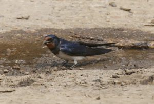 Swallow collecting mud for its nest