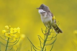 The arrival of whitethroats