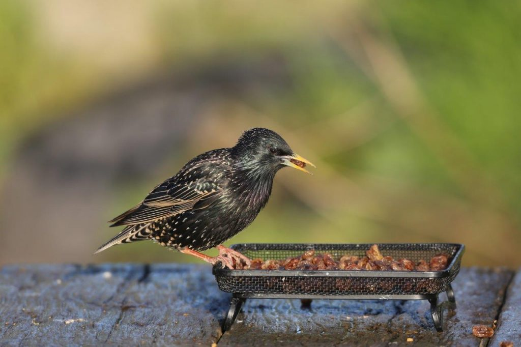 Alternative foods to suet for your garden birds