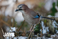collection of bird photos of jays