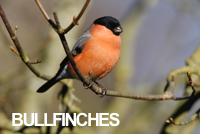 Collection of bullfinch bird photos