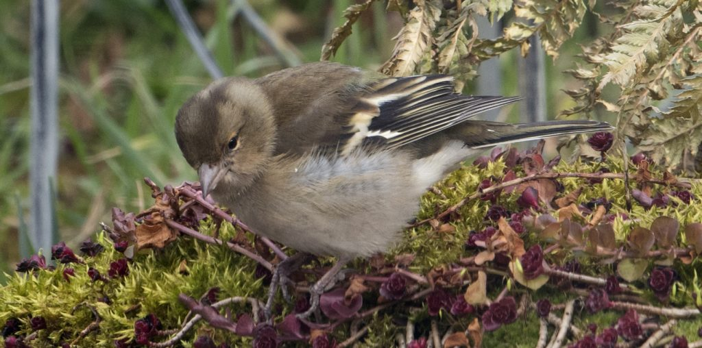 The Chaffinches are back by Phil Pickin