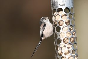 The delightful Long-tailed tit