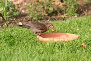 Female blackbird with live mealworms