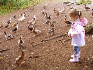 Feeding ducks and swans