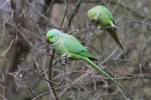 The joys and horrors of Parakeets on bird feeders, and what we've learnt from our customers