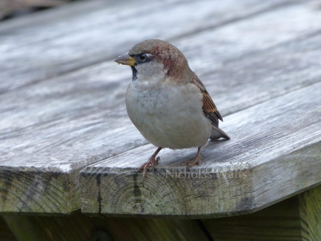 The humble house sparrow - and why it needs your help