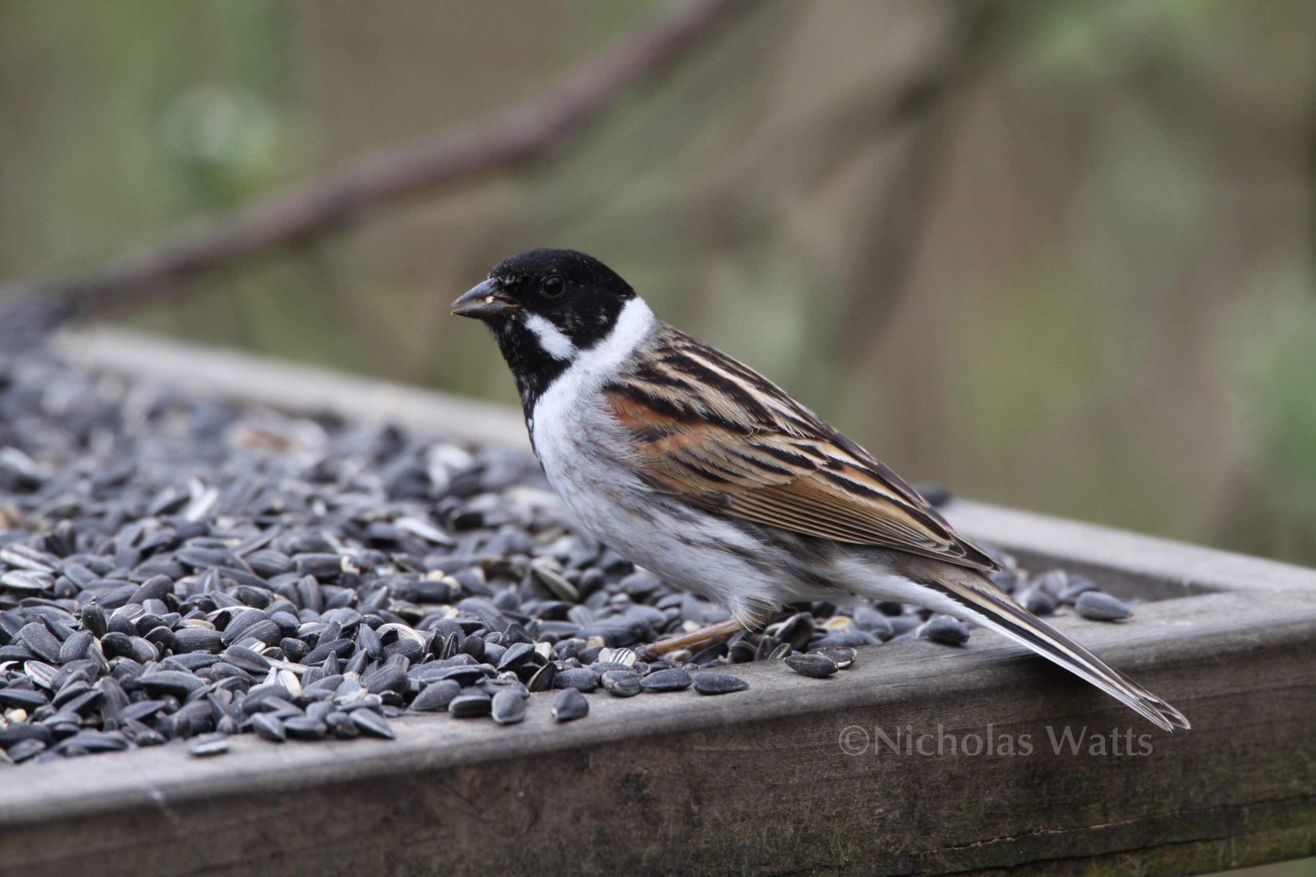 Reed Bunting Vine House Farm