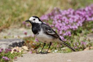 The aptly named pied wagtail