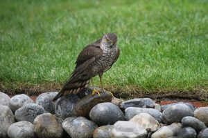 The privilege of sparrowhawks visiting our gardens